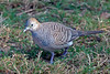 Zebra Dove ~ Big Island, Hawai'i