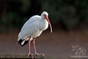 White Ibis ~ Sea Pines Forest ~ Hilton Head, Georgia