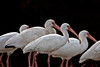 White Ibis group ~ Sea Pines Golf Course ~ Hilton Head, South Carolina