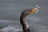 Double-crested Cormorant with fish ~ Winchester Bay, Oregon
