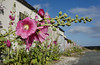 [FRANCE. ATLANTIC 30123] 'Hollyhocks on Ile d'Aix.'