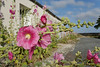 [FRANCE. ATLANTIC 30122] 'Hollyhocks on Ile d'Aix.'