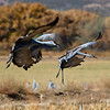 Sandhill Cranes landing - Festival of the Cranes