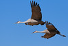 Sandhill Cranes in flight - Festival of the Cranes