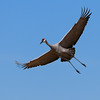 Sandhill Crane in flight - Festival of the Cranes