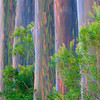 "<b>""RAINBOW ROW""</b>  The Big Island, Hawaii  Ever seen a Rainbow Eucalyptus tree?  They're surreal!  Their bark is a magical mix of vivid colors.  I found this row of Rainbow Eucalyptus trees on the Big Island of Hawaii. The trees were perfectly spaced, about 5 yards apart. I shot them looking down the row, using a telephoto lens to compress the shot and make this abstract."