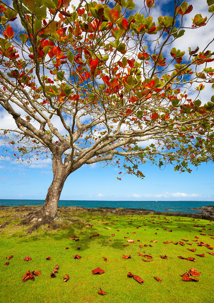 """UNDER THE ALMOND TREE""  The Big Island, Hawaii  A tropical almond tree reaches for the sky on a beautiful, sunny day. Its leaves are starting to turn color and fall, allowing the sun to backlight the leaves making them glow a brilliant red. Located on adorable little Coconut Island in Hilo, Hawaii."