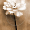 Sepia Watercolor Rose Series 1