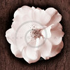 Tree Flower Series II White Garden Rose