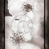 White Antique Garden Roses I