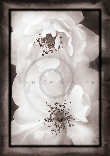 White Antique Garden Roses II