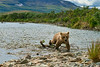 """Brown bear cub walking up stream trying keep up with mom.............................to purchase - <a href=""""http://bit.ly/1tk2oPj"""">http://bit.ly/1tk2oPj</a>"""