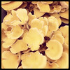 Oyster Mushrooms, OSU Farmer's Market, OKC, 2011