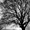 Silhouette  A stark winter tree, bereft of leaves but still magnificent