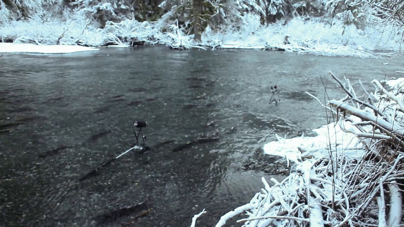 Video: Photographing spawning Coho Salmon (above water viewpoint)