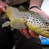 A Weber River brown trout. Photo by Ben Nadolski, Utah Division of Wildlife Resources.