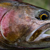 A closeup of a Weber River cutthroat trout. Photo by Ben Nadolski, Utah Division of Wildlife Resources.