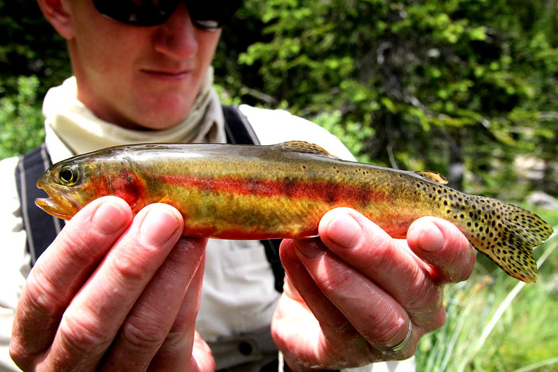 Phil Tuttle holds a golden trout caught at Echo Lake in July, 2014. Photo by Paul Thompson, Utah Division of Wildlife Resources.