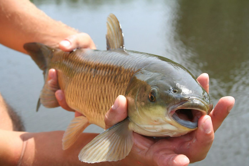Carp at Yuba State Park. Photo courtesy of Utah State Parks.