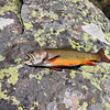 A brook trout at Helen Lake. Photo by Alex Hansen, Utah Division of Wildlife Resources.