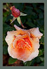 THE-APRICOT-ROSE-&-BUD-PRINT-5720