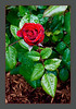 RED-ROSE-OPEN-BUD-PRINT-5743