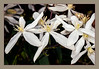 WHITE-CLEMATIS-CLOSE-PRINT-6896-copy