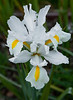 WHITE-IRIS-CLOSE-WEB-5626