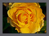YELLOW-ROSE-WEB-5304