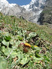 Inula rhizocephala var. rhizocephaloides,  3210m Ultra Base Camp, near Karimabad, Hunza Valley