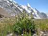 Saussurea bracteata and Layla Peak 6200m, Baltistan