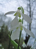 Galanthus krasnovii in deciduous woodland (west of Artvin)