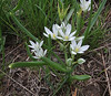 Ornithogalum spec., 2000m., Kajmaktcalan, 2521m, near the Macedonian border (L)
