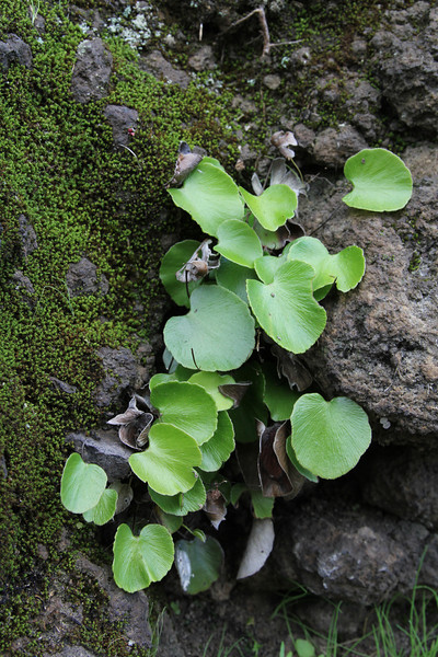 Adiantum reniforme, Kidney Maidenhair, 2km North of Tinizara 1000m LP1(E)