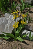 Erithronium grandiflorum