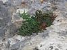 Pellaea glabella ssp. occidentalis, Smooth Cliffbrake.