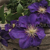 Juliet - Purple Clematis Resides in the Walled English Garden at the Chicago Botanic Garden.
