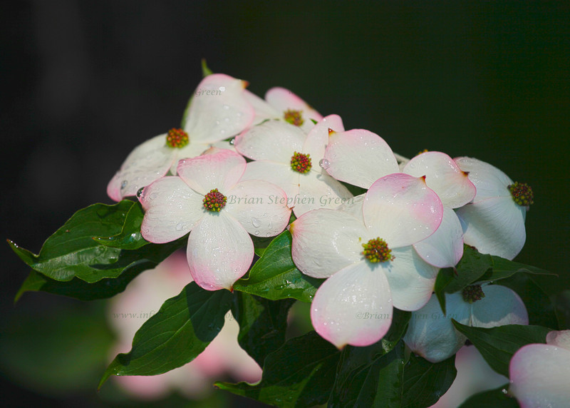 """Dogwood After the Rain"""