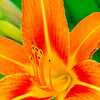 Orange day lily, color macro