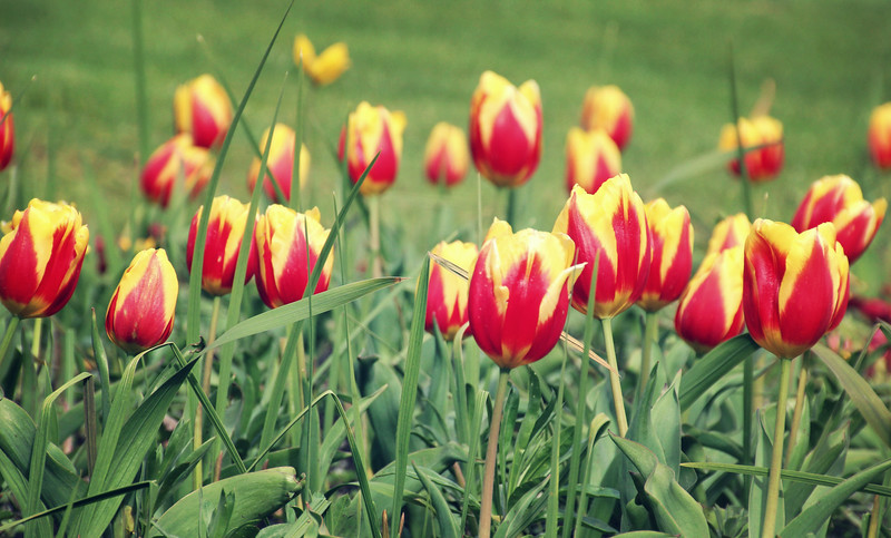 Tulips in England