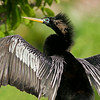 Anhinga at the Wakodahatchee Wetlands