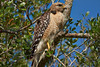 DSC02687 Fiddlesticks_Hawk 714