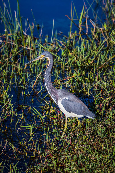 A tricolor heron in the everglades along the Anhinga Trail in the Everglades National Park, Florida, USA.