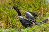 An Anhinga drying its feathers in the Everglades National Park, Florida, USA.