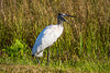 A wood stork in the everglades along the Anhinga Trail in Everglades National Park, Florida, USA.
