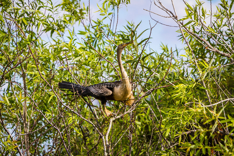 A female anhinga bird in the trees along the Anhinga Trail in Everglades National Park, Florida, USA.