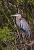 A great blue heron in the everglades along the Anhinga Trail in the Everglades National Park, Florida, USA.