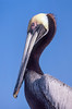 A closeup portrait of the Brown pelican in the Eveglades of Florida, USA.