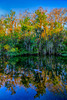 Reflections of trees in an everglades alligator  pond, Florida, USA.
