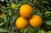 Closeup of oranges on the tree in an orange orchard near Haines City, Florida, USA.
